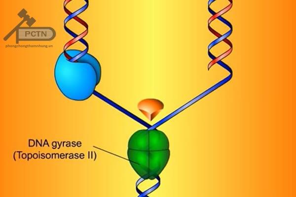 ADN gyrase tháo xoắn ADN