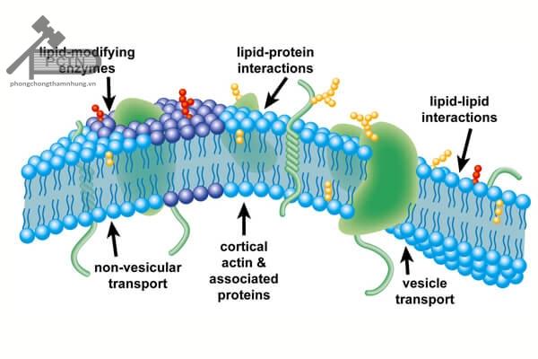 Cấu trúc màng tế bào