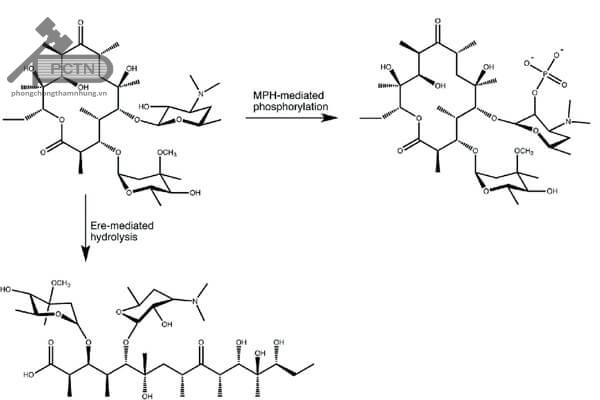 Erythromycin bị phá hủy theo hai cách