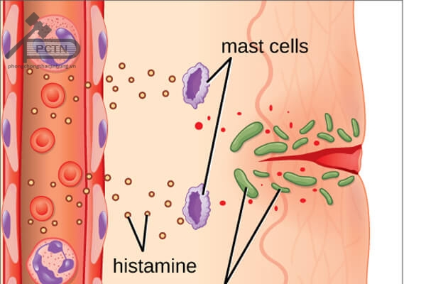 Tế bào mast giải phóng các chất trung gian hóa học
