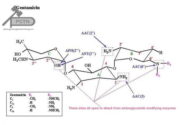 Các vị trí mà enzym có thể tấn công gentamicin