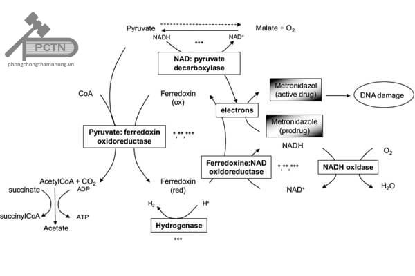 Cơ chế hoạt động của metronidazol
