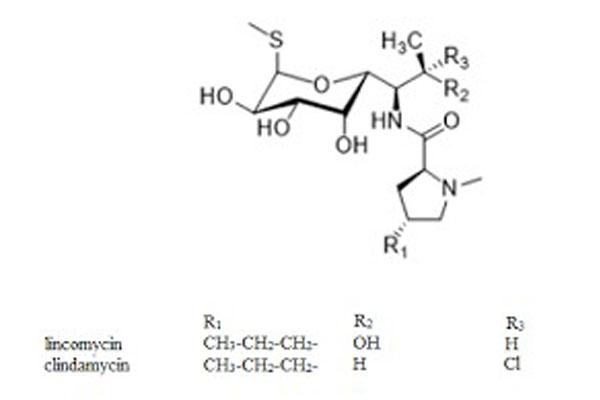 lincomycin và clindamycin