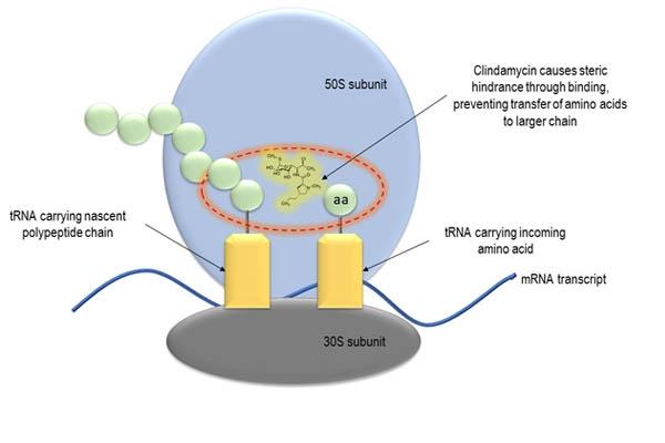 Vị trí tác dụng của lincosamid