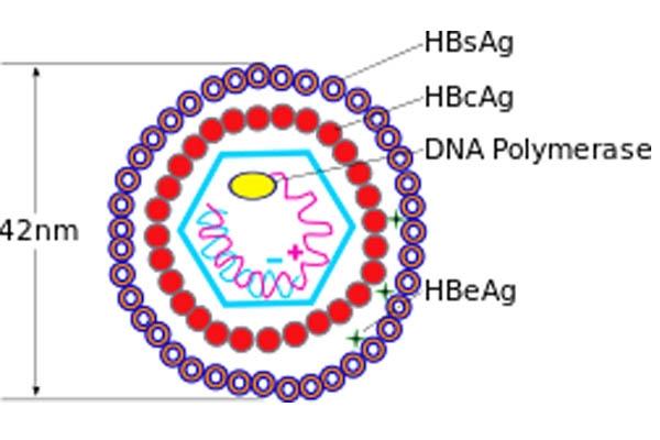 Cấu trúc virus HBV