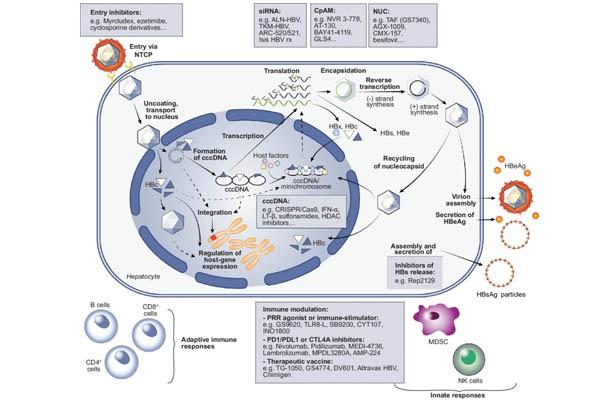 Chu kì sống của virus HBV