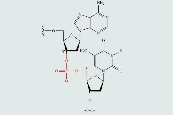 Liên kết giữa hai phân tử nucleotid