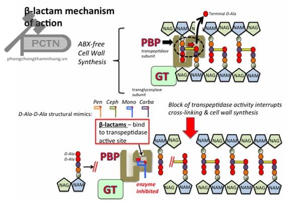 Cơ chế hoạt động của cefepim cũng như là các sinh β-lactam khác. Phần trên là quá trình tổng hợp peptidoglycan bình thường của thành tế bào vi khuẩn, còn phần dưới là quá trình tạo liên kết ngang của giữa các peptidoglycan không được thực hiện do β-lactam ức chế tranpeptidase.