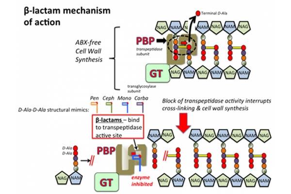 Cơ chế tác dụng của imipenem- 1 kháng sinh betalactam.