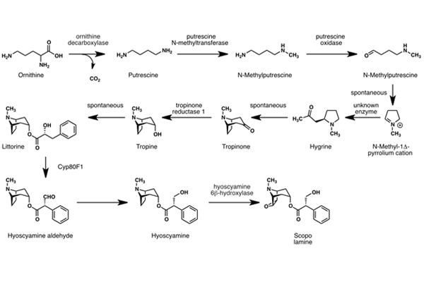 Sơ đồ sinh tổng hợp schopolamin ở thực vật