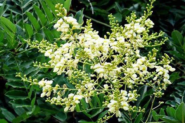 Rutin là một thành phần chiết xuất từ hòe hoa